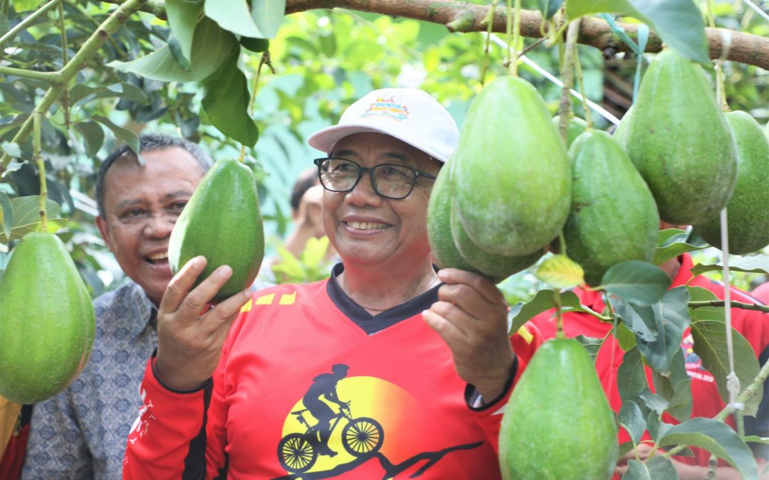 Alpukat Karangsono Daya Tarik Hortikultura Kabupaten Blitar